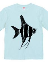 angelfish 01