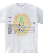 Figure versus the 12 cranial nerves